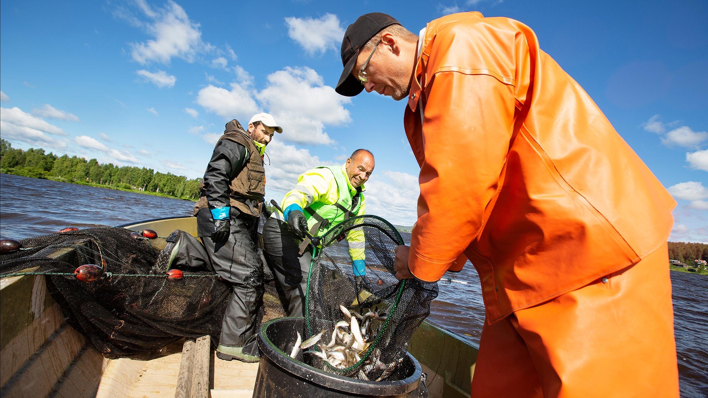 Ammar Alabado, Sala Akabia och Robert Westin fiskar upp vitfisk i Svartbyträsket i Boden för att minska algblomningen i ett projekt som ger vinster både för mijö och integration.